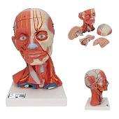Anatomie model hoofd met spieren, bloedvaten, zenuwen en hersenen (5-delig, 36x18x18 cm)