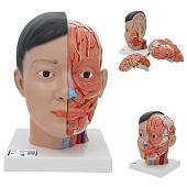 Anatomie model Aziatisch hoofd met hersenen en hals (4-delig, 26 cm hoog)