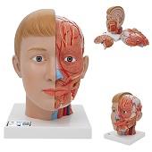 Anatomie model hoofd met hersenen en hals (4-delig, 19x23x22 cm)