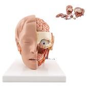 Anatomie model hoofd met hersenen (6-delig, 19x23x22 cm)