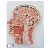 Anatomie model van het hoofd, doorsnede, 26x33x5 cm