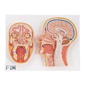 Anatomie model van het hoofd, doorsnede, 41x31x5 cm