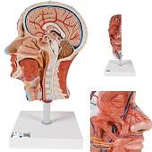 Anatomie model van het hoofd, doorsnede, 22x18x46 cm