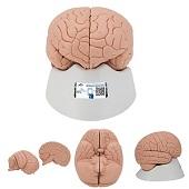 Anatomie model hersenen, 2-delig