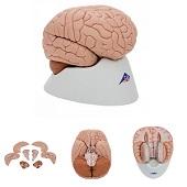 Anatomie model hersenen, 8-delig