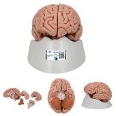 Anatomie model hersenen, 5-delig