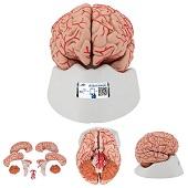 Anatomie model van de hersenen met bloedvaten, 9-delig, 15x14x16 cm