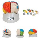Anatomie model van de hersenen, functioneel, 8-delig, 14x14x18 cm