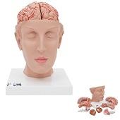 Anatomie model hoofd met hersenen, 8-delig, 15x15x23 cm