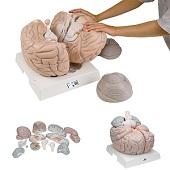 Anatomie model van de hersenen, 14-delig, megamodel