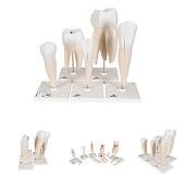 Anatomie modellen tanden, 5 stuks