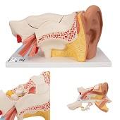Anatomie model oor, 6-delig, 34x16x16 cm
