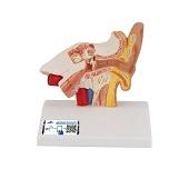 Anatomie model oor, 14x10x15 cm