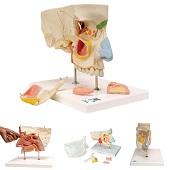 Anatomie model neus met sinussen, 5-delig, 26x19x24 cm
