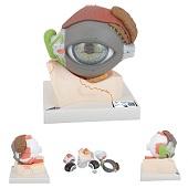 Anatomie model oog, 8-delig, 20x18x21 cm