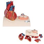 Anatomie model hart, 5-delig, 25x21x13 cm