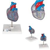 Anatomie model hart met prikkelgeleidingssysteem, 2-delig, 19x12x12 cm