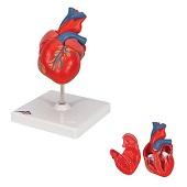 Anatomie model hart, 2-delig, 19x12x12 cm