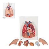 Anatomie model longen, hart en strottenhoofd (7-delig, 41x31x12 cm)
