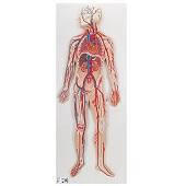 Anatomie model bloedsomloop, 80x30x6 cm