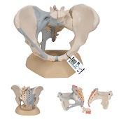 Anatomie model bekken vrouw met ligamenten, 3-delig