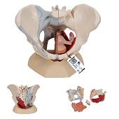 Anatomie model bekken vrouw met ligamenten, spieren en organen, 4-delig