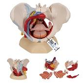 Anatomie model bekken vrouw met ligamenten, bloedvaten, zenuwen, spieren en organen, 6-delig