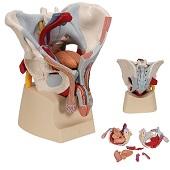 Anatomie model bekken man met organen, 7-delig