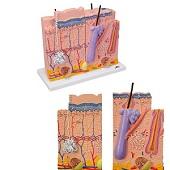 Anatomie model huid, 3-delig, 80x vergroot, 34x39x16 cm