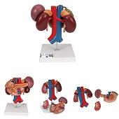 Anatomie model (bij)nieren, alvleesklier, galblaas, dunne darm, milt