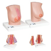 Anatomie model borst, 2 stuks