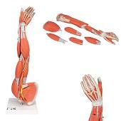 Anatomie model spieren arm, 60 cm, 6-delig