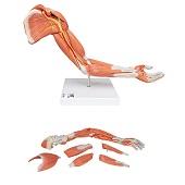 Anatomie model spieren arm, 70 cm, 6-delig