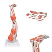 Anatomie model spieren been, 77 cm, 9-delig