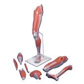 Anatomie model spieren been, 100 cm, 7-delig