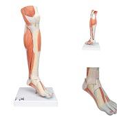 Anatomie model spieren onderbeen, 58 cm, 3-delig