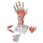 Anatomie model hand en pols, 4-delig