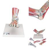 Anatomie model voet met ligamenten en spieren