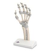 Anatomie model hand en pols, flexibele banden