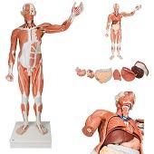 Anatomie model spieren en organen tweeslachtig, 37-delig, 180x110x50 cm