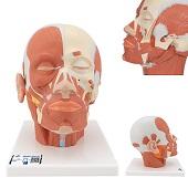 Anatomie model van het hoofd en nek met spieren, 24x18x24 cm