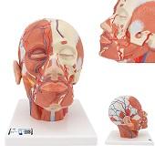 Anatomie model van het hoofd en nek met spieren en bloedvaten, 24x18x24 cm