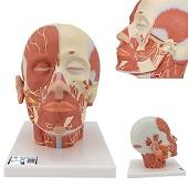 Anatomie model van het hoofd en nek met spieren en zenuwen, 24x18x24 cm
