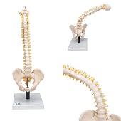 Anatomie model wervelkolom, zeer flexibel, 90 cm