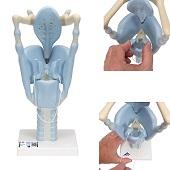 Anatomie model strottenhoofd, functioneel, 32x13x15 cm