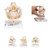 Anatomie model volwassen gebit, 16x12x13 cm