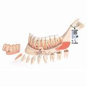 Anatomie model onderkaak, 19-delig, 22x32x9 cm