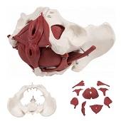 Anatomie model bekken en bekkenbodemspieren, vrouw, 12-delig, 27x18x17 cm