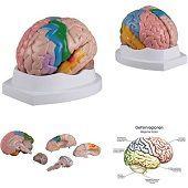 Hersenen<br/>(regionaal/functioneel, 5-delig)