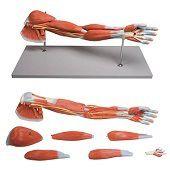 Anatomie model spieren arm en schouder, 7-delig